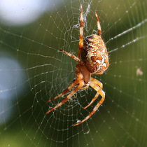 Gartenkreuzspinne (Araneus diadematus, European garden spider, diadem spider, cross spider or crowned orb weaver)